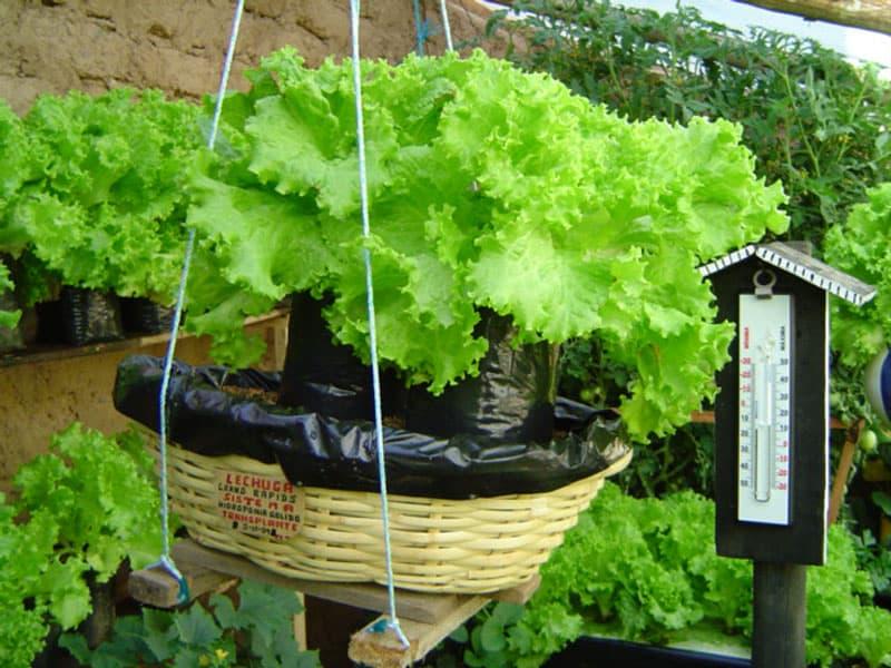 Cultivo en una canasta con hidroponía