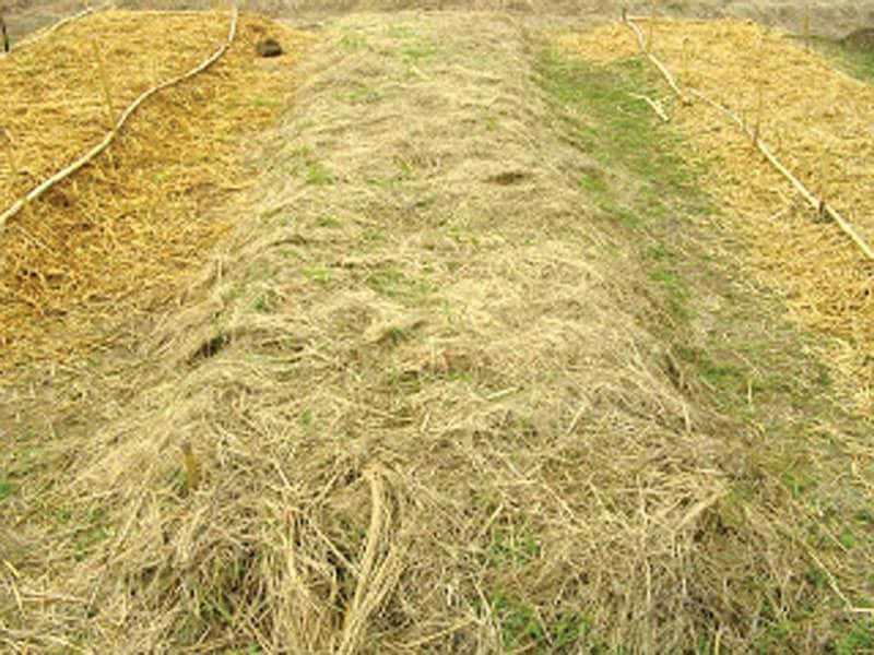 Cubrir el suelo con paja es una buena protección