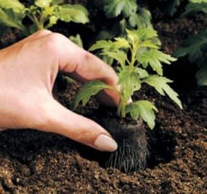 Transplante de hortalizas