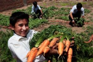 Cosechando zanahorias