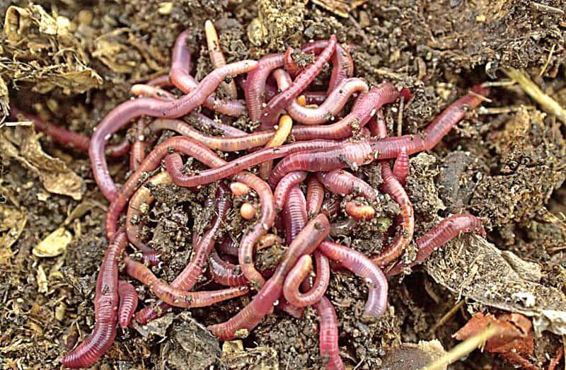 Lombrices californianas que producen el humus.