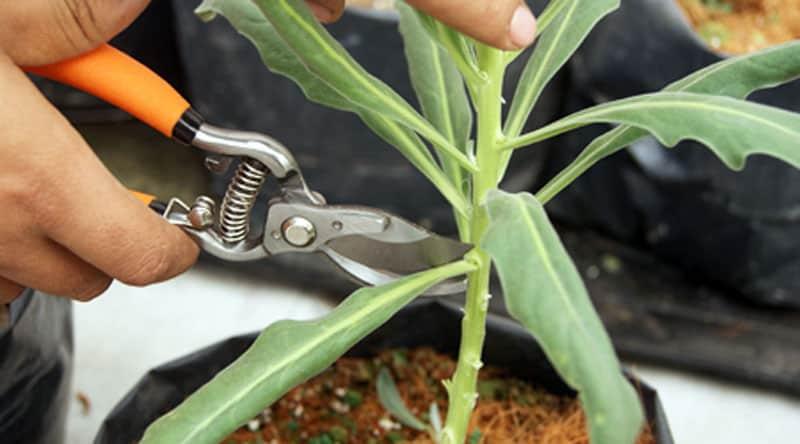 Cortas las hojas o ramas dañadas o excesivas