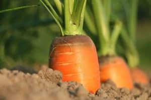zanahorias en tierra